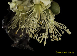 A Cave Nectar Bat pollinating durian flowers