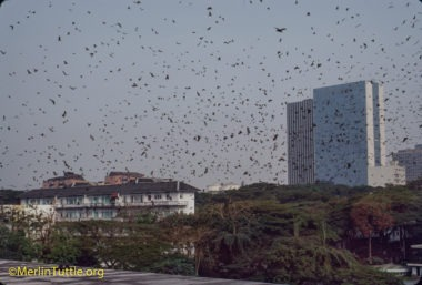Hundreds of thousands of Straw-colored fruit bats (Eidolon helvum) beginning their evening departure from a city park in Ivory Coast, Africa. Cities often provide the only homes safe from commercial hunters who sell them for people to eat. Despite such large numbers having lived in close assoiation with humans throughout recorded history, they have not caused disease outbreaks. Their remarkable safety record casts grave doubt on recent speculation of their being dangerous carriers of disease. Emergences