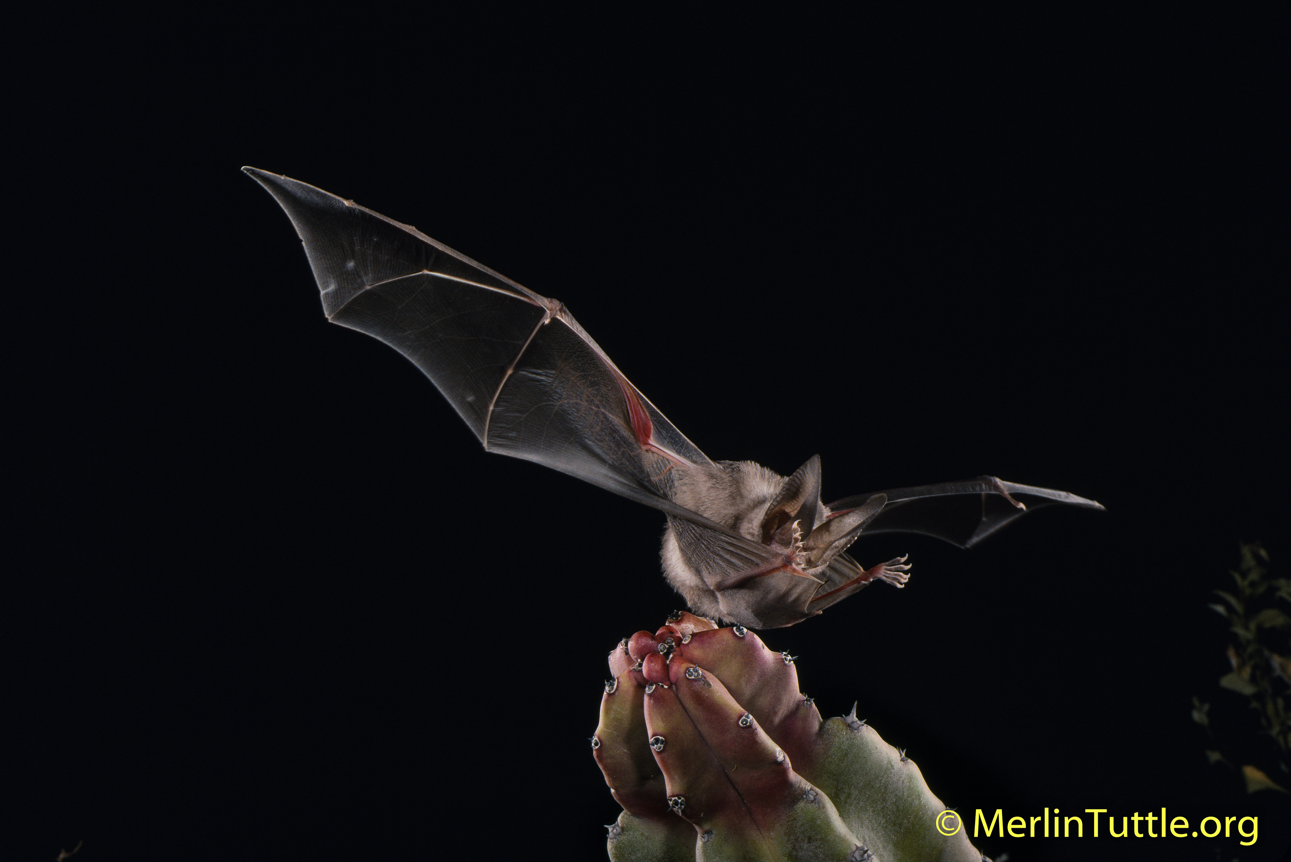A California Leaf Nosed Bat Macrotus Californicus Catching Cricket In Mexico